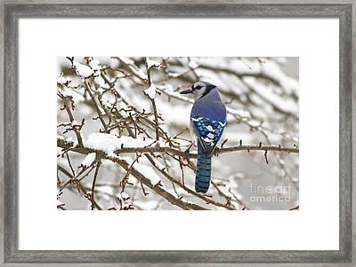 White Snows Blue Jay Framed Print