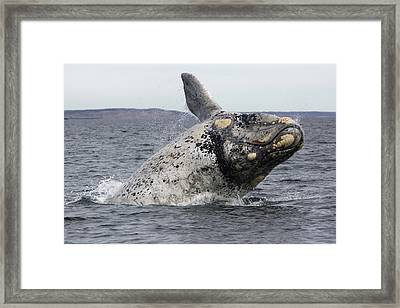 White Southern Right Whale Breaching Framed Print by Hiroya  Minakuchi