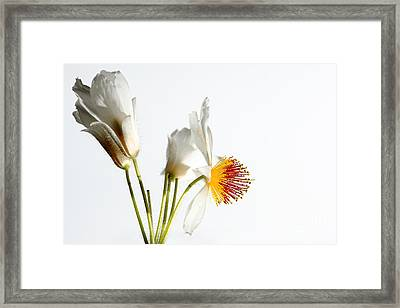 White Sparmannia Africana Plant. Framed Print