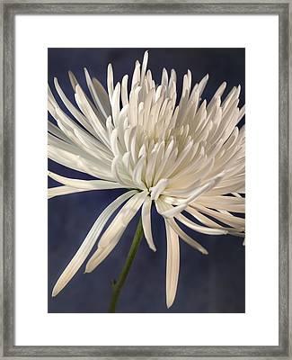 White Spider Mum On Blue Framed Print