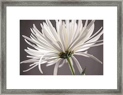 White Spider Mum On Gray Framed Print