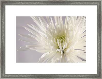 White Spider Mum On White Framed Print