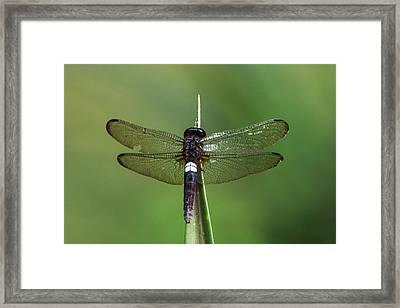 White-spot Dragonfly, Odzala, Kokoua Framed Print
