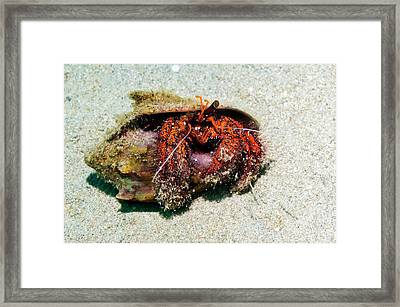 White-spotted Hermit Crab Framed Print