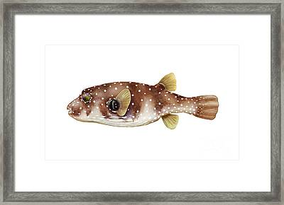 White-spotted Puffer Arothron Hispidus Framed Print by Carlyn Iverson