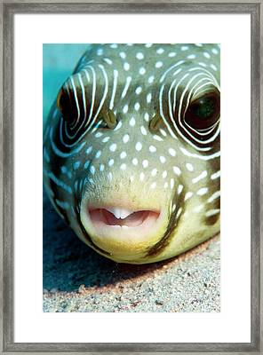 White Spotted Pufferfish Framed Print by Louise Murray