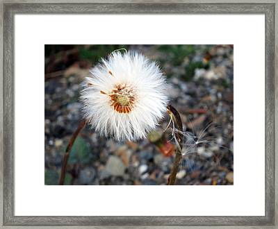 White Spring Wildflower Framed Print by Patricia Januszkiewicz