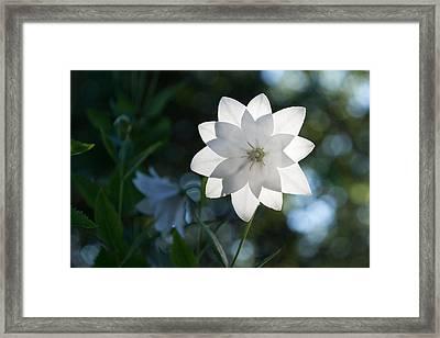 White Star Framed Print by Georgia Mizuleva