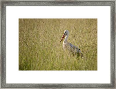 Framed Print featuring the photograph White Stork by Antonio Jorge Nunes