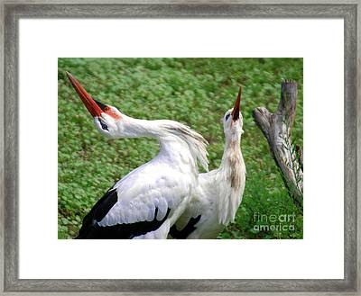 White Stork In Bonding Ritual Pose Framed Print by Optical Playground By MP Ray