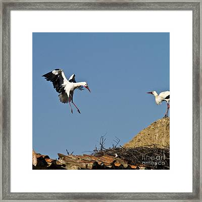 White Stork Landing Framed Print by Heiko Koehrer-Wagner