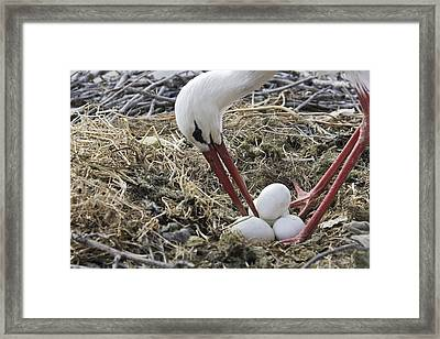 White Stork Turning Eggs Framed Print
