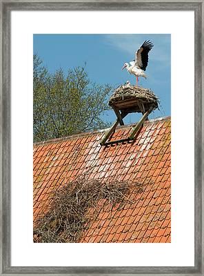 White Storks Framed Print by Duncan Shaw