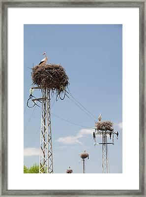White Storks Nesting Framed Print by Ashley Cooper