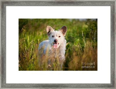 Single White Stray Tyke Dog In Meadow  Framed Print by Arletta Cwalina