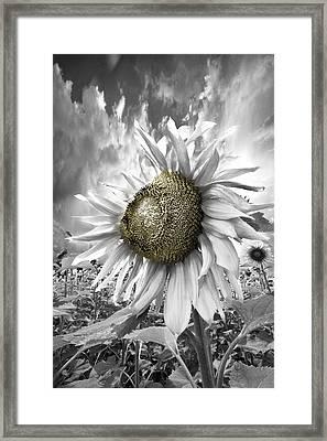 White Sunflower Framed Print by Debra and Dave Vanderlaan