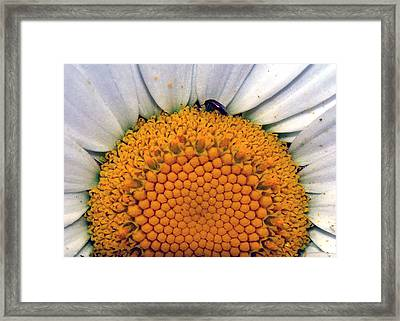 Framed Print featuring the photograph White Sunflower by Tarey Potter