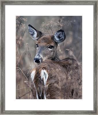 White-tail Beauty Framed Print