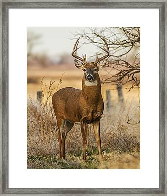 White-tail Buck Framed Print