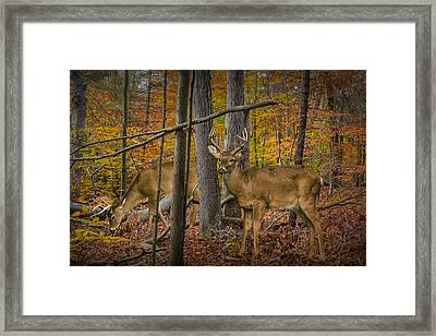 White Tail Deer Bucks In An Autumn Woodland Forest Framed Print by Randall Nyhof