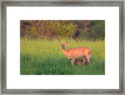 White-tail Doe And Fawn Framed Print