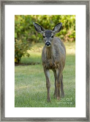 Framed Print featuring the photograph White Tail Fawn by Inge Riis McDonald