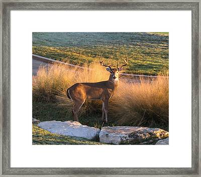 Framed Print featuring the photograph White Tail by John Johnson