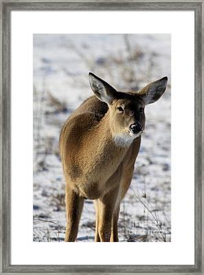 White Tail Framed Print by Rick Rauzi