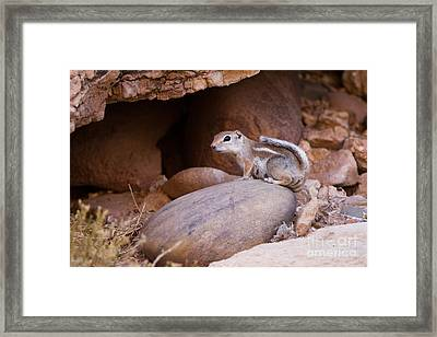 White-tailed Antelope Squirrel Framed Print