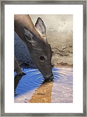 White Tailed Deer Framed Print by Brandon Alms