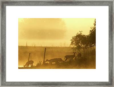 White-tailed Deer Crossing Water Framed Print by Maresa Pryor