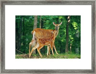 White-tailed Deer Doe And Fawn Framed Print