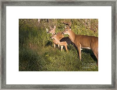 White-tailed Deer Family Framed Print by Linda Freshwaters Arndt