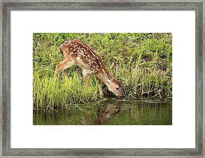 White-tailed Deer Fawn Drinking Framed Print by Jurgen and Christine Sohns