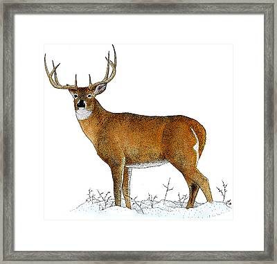 White-tailed Deer, Illustration Framed Print