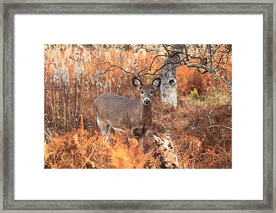 White Tailed Deer In Autumn Meadow Framed Print by John Burk