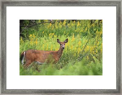 White Tailed Deer In Goldenrod Meadow Framed Print by John Burk