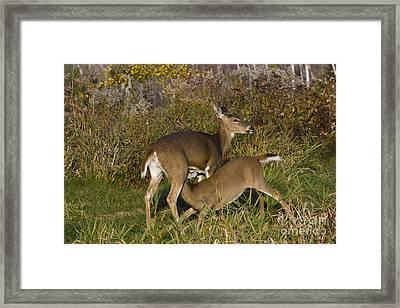 White-tailed Deer Nursing Framed Print