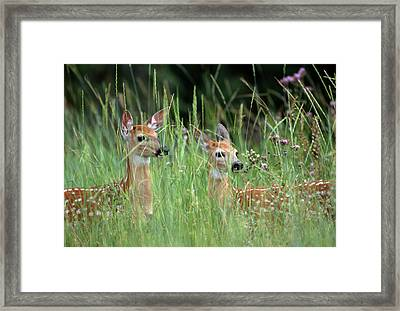 White-tailed Deer (odocoileuis Framed Print