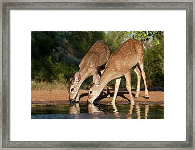 White-tailed Deer (odocoileus Framed Print by Larry Ditto