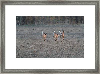 White Tailed Deer Running Framed Print by Dan Sproul