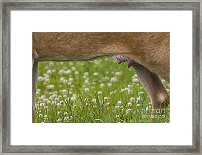 White-tailed Deer Udder Framed Print