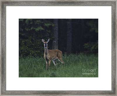 White-tailed Deer Framed Print by Veikko Suikkanen