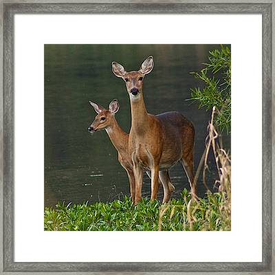 White-tailed Doe And Fawn Framed Print by Dan Ferrin