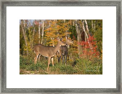 White-tailed Does Framed Print