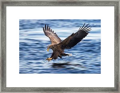 White-tailed Eagle Framed Print