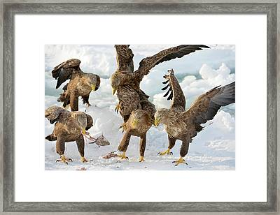 White-tailed Eagles With Prey Framed Print