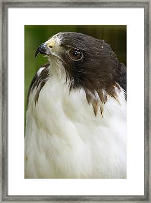 White-tailed Hawk, Buto Albicaudatus Framed Print
