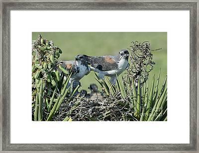 White-tailed Hawk Family Framed Print by Anthony Mercieca