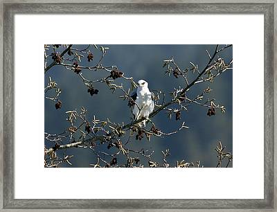 White-tailed Kite In A Tree Framed Print